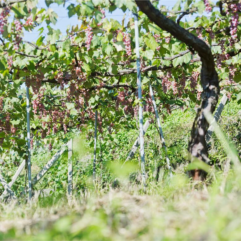 Viticulture 気候風土に合わせた栽培